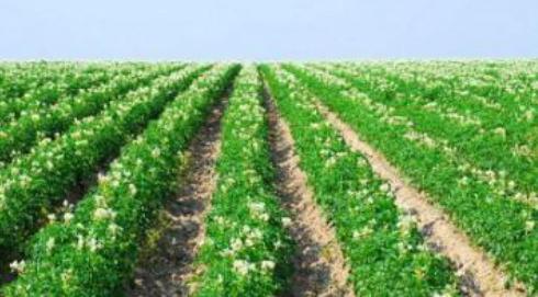 Как правильно сажать картошку под мотоблок – посадка картофеля мотокультиватором